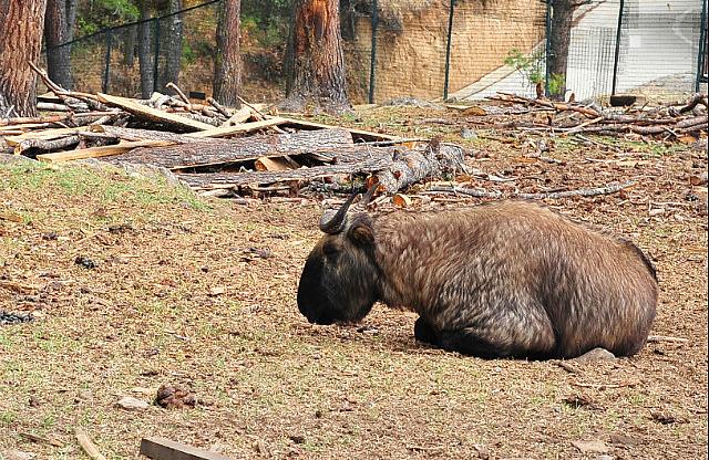 National animal - the Takin.