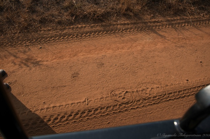 11.1438609900.lions-tracks-above-our-tyre-tracks.jpg
