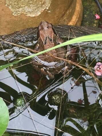 13.1475599490.resident-frog-in-the-garden